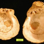 Spondylus-left_and_right_valves-2